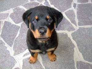Kosten eines Hundes: Rottweiler Welpe