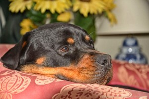 Rottweiler Foto - 11