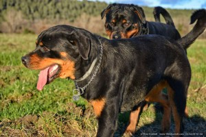 Rottweiler Foto - 03