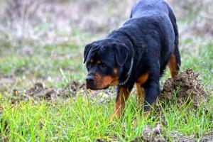 Rottweiler Foto - 09